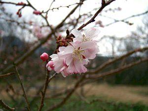 jugatsu-sakura